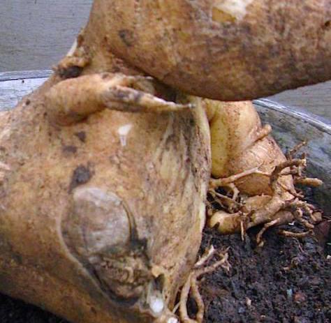 Adenium Busuk Akar yang berhasil bertahan hidup