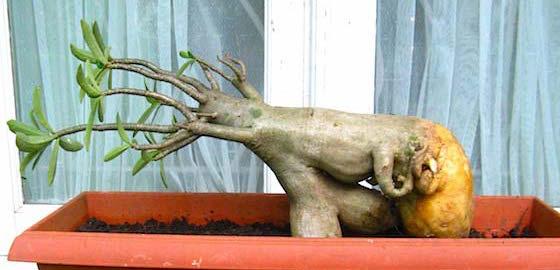 Pruning Adenium Tipsrumah.com